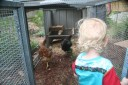 shepherding the chickens into the pen